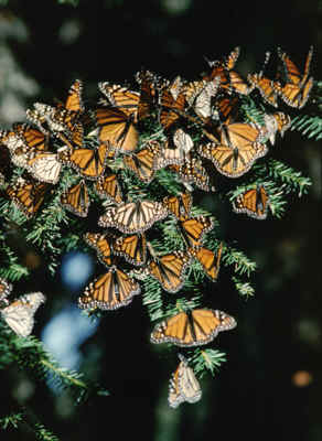 monarch_aggregation_ks1