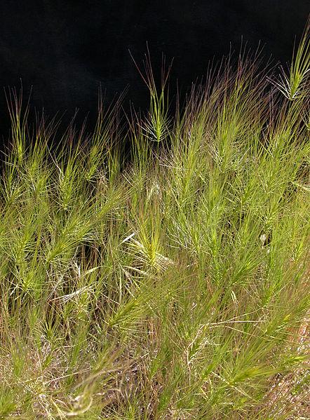 442px-ARS_Medusahead_weed